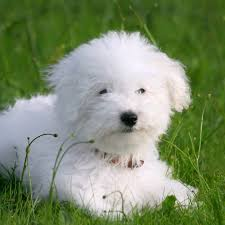 bichon frise dog breeders purebred bichon frise puppies for sale animaroo com