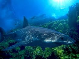 great white shark pictures national geographic