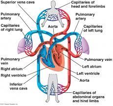 fish circulatory system diagram 24 circulation flashcards at