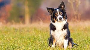 australian shepherd 14 weeks australian shepherd bondi vet tv series official site