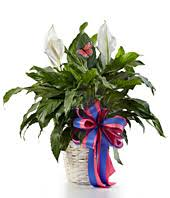 funeral plants sympathy plants funeral plants from you flowers