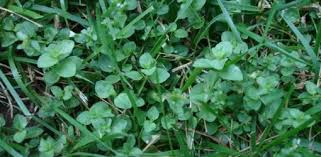 How To Get Rid Of Moles In The Backyard by How To Control Weeds In Your Lawn Today U0027s Homeowner