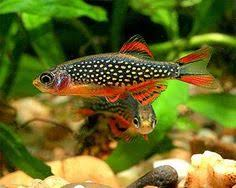 Pacific Aquascape Pseudomugil Signifer Pacific Blue Eye God Community Fish
