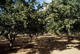 hazelnut or filbert corylus avellana l fruit crops