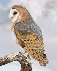 Scientific Name Of Barn Owl Barn Owl Whatbird Com