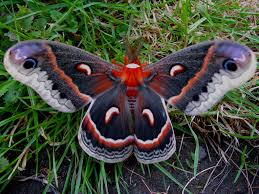 Moths In Kitchen Cabinets 106 Best Moths Images On Pinterest Butterflies Animals And Nature