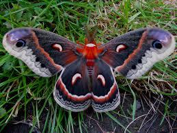 106 best moths images on pinterest butterflies hawk moth and