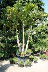 Home Landscaping Ideas by Garden U0026 Outdoor Charming Potted Robellini Palm Tree With Triple