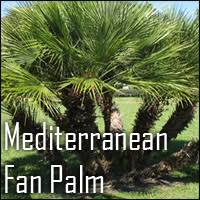 mediterranean fan palm tree estrella canyon nursery palm trees