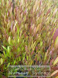 purple flowering australian native plants dodonaea viscosa purple australian native 200mm pot budget