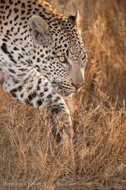 leopard wildlife wide is an hd wallpaper posted in animals and
