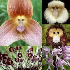 monkey orchid monkey orchid monkeyologist
