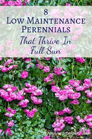 full sun perennials 8 low maintenance plants that thrive in the