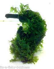 christmas moss live plants ebay