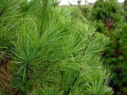 white pine trees trees