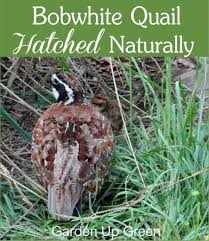 bobwhite quail hatched naturally u2013 garden up green