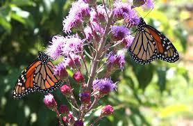 ideas 3 2 million to restore monarch butterfly habitat