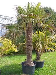 palmier du chili trachycarpus fortunei