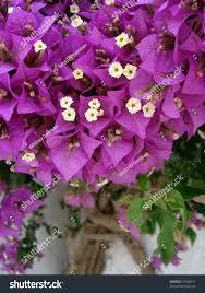 Bright Fuchsia Flowering Shrub Growing Alongside Stock Photo