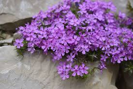 image of spring flowers 11 best perennial flowers for early spring