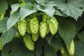 troubleshooting a hops with no cones u2013 why are hops not producing