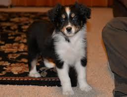 australian shepherd size at 8 weeks australian shepherd puppies available in hoobly classifieds