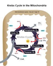 energy metabolism ii biology visionlearning