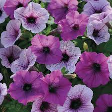 Dry Basement Wave Easy Wave Plum Pudding Mix Petunia Seeds From Park Seed