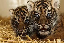 tiger cub facts lesson for study com