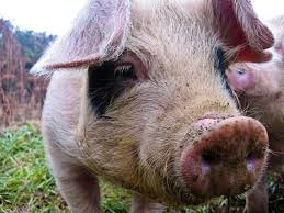 how to raise pastured pigs without buying feed http www