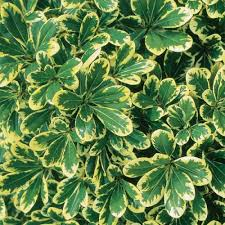 southern living plant collection 2 gal mojo pittosporum 47912