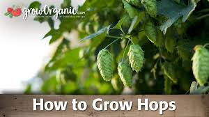how to grow hops youtube