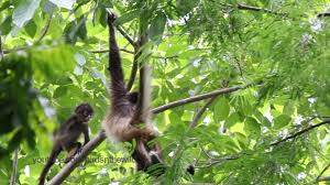 baby spider monkey swinging in branches youtube