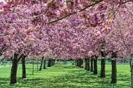 Prospect Park Botanical Garden Botanic Garden Cherry Blossoms Unscathed By Snow