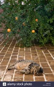 tabby cat napping on patio near pomegranate tree in old deruta