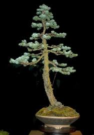 how to care spruce bonsai tree picea youtube