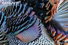 turkey up turkey photo meleagris gallopavo g97429 arkive