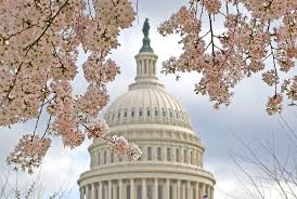 Cherry Blossom Tree Facts by Everything To Know About The Washington Dc Cherry Trees