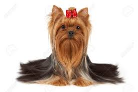 yorkie hair cut chart yorkie hair cut chart yorkie haircuts re pinned by https www