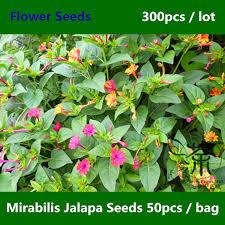 mirabilis jalapa seeds for planting 300pcs ornamental species of