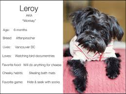 affenpinscher monkey dog dogs and the city kristie lee photographer page 16