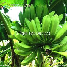 mini banana tree online shop 30 bag banana tree seeds fruit seed rare small mini
