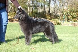 belgian sheepdog trials belgian sheepdogs