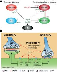 regulation of synaptic functions in central nervous system by