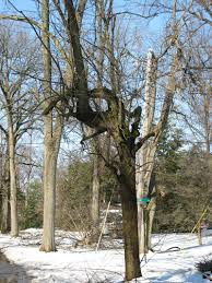 put that tree out of its misery audubon park ky trees