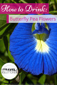 how to drink butterfly pea flower travel gluttons