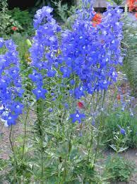 delphinium flowers delphinium garden coach photos