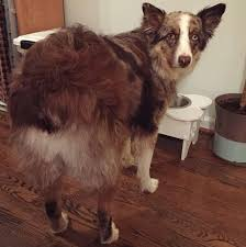 australian shepherd dog names 16 pictures that perfectly sum up what it u0027s like to own an