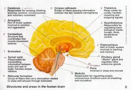 Image Of Brain Anatomy The Teenage Brain Webquest