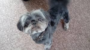 affenpinscher loyalty testimonials the healthy pet club